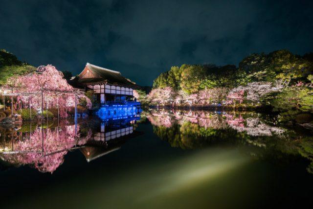 【2021年桜特集】平安神宮 ~しだれ桜と桜みくじ~