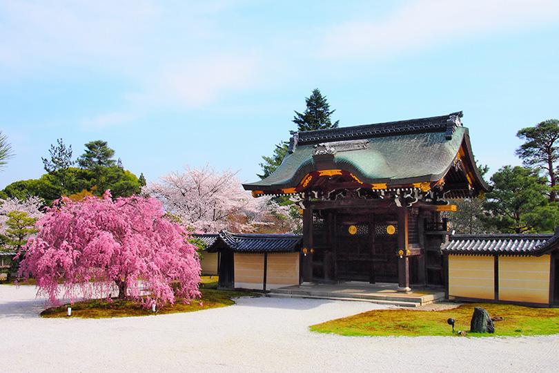 京都観光 桜 大覚寺