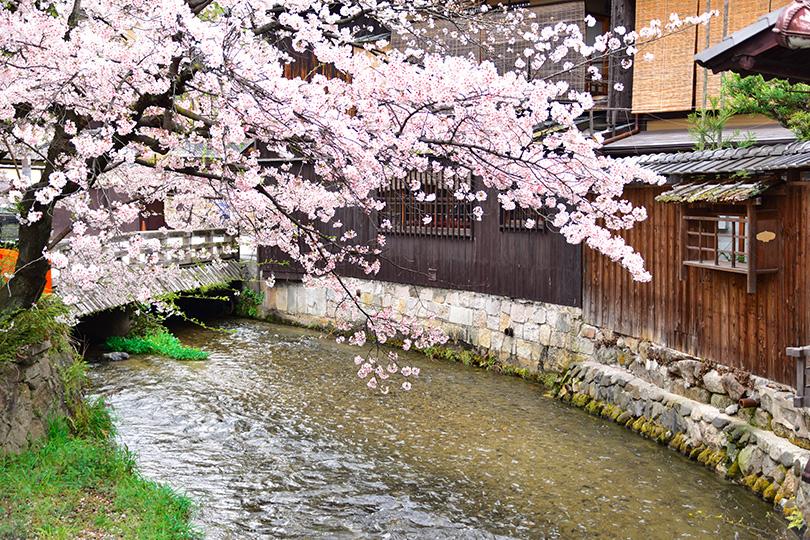 京都観光 桜 祇園白川