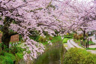 哲学の道 ~春には関桜のトンネルを形成~