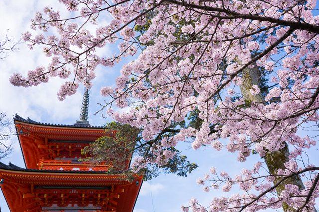 【2020年桜特集】京都の桜・例年の見ごろは?
