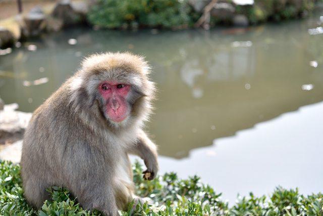 野猴子的乐园~岚山岩田山猴子园
