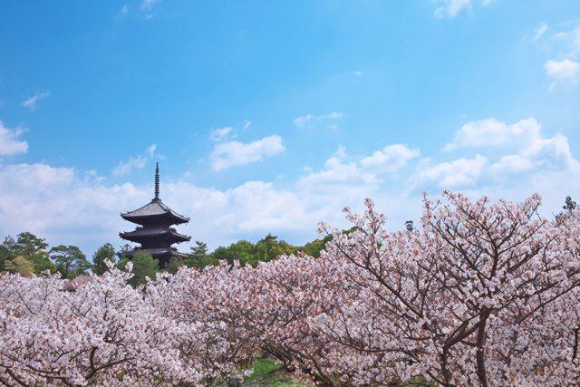仁和寺 ~遅咲きの御室桜~