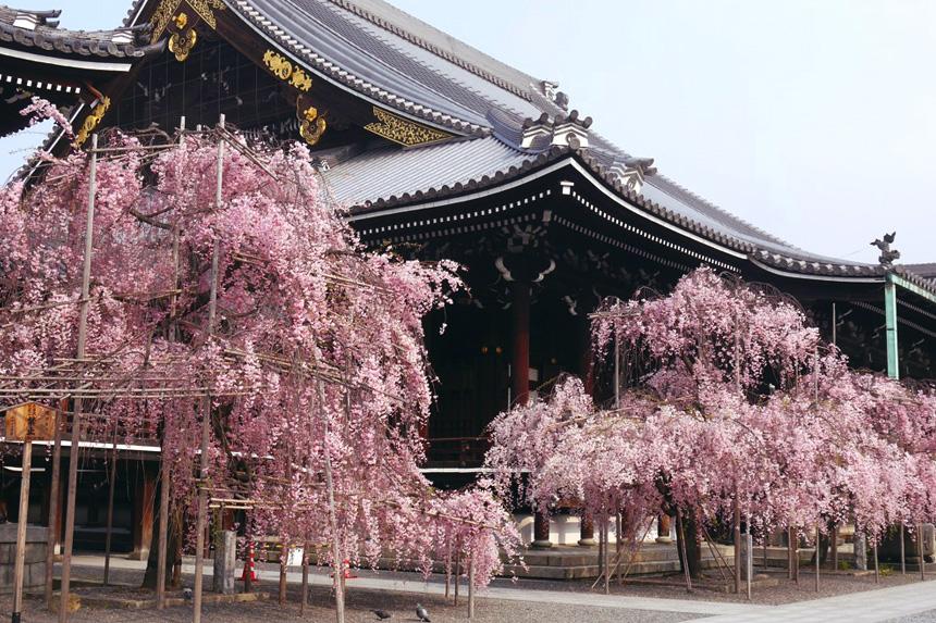 佛光寺 桜 京都観光