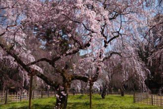 【2021年桜特集】ペットとお花見できる京都の花見スポット