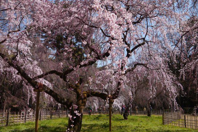 【2020年桜特集】ペットとお花見できる京都の花見スポット