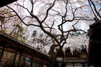 【2021年桜特集】桜の御朱印がいただける京都の神社仏閣