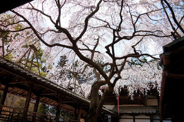 【2019年桜特集】桜の御朱印がいただける京都の神社仏閣