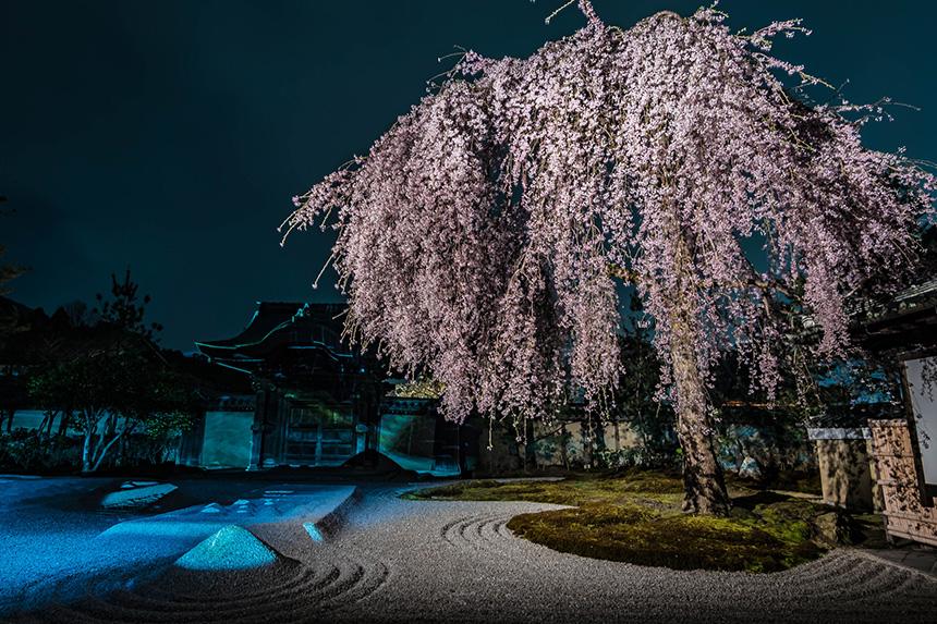 高台寺 桜 京都観光