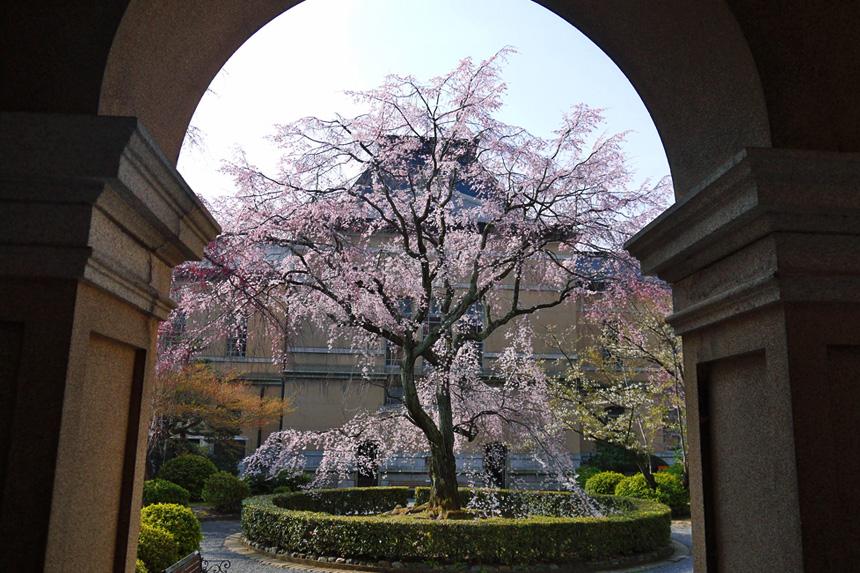 京都府庁 桜 京都観光