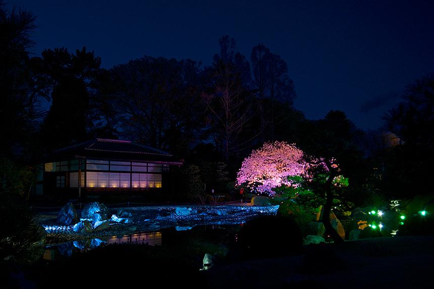 二条城 桜 京都観光