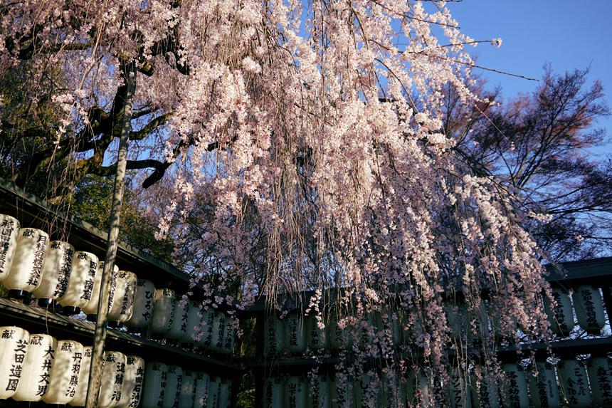 大石神社 桜 京都観光