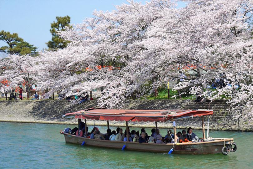 宇治橋上流 桜