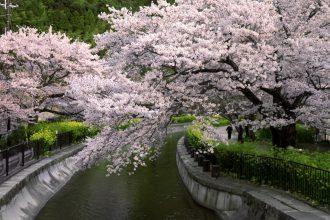 【京都観光2021】人混みを避けて桜を楽しむ穴場スポット