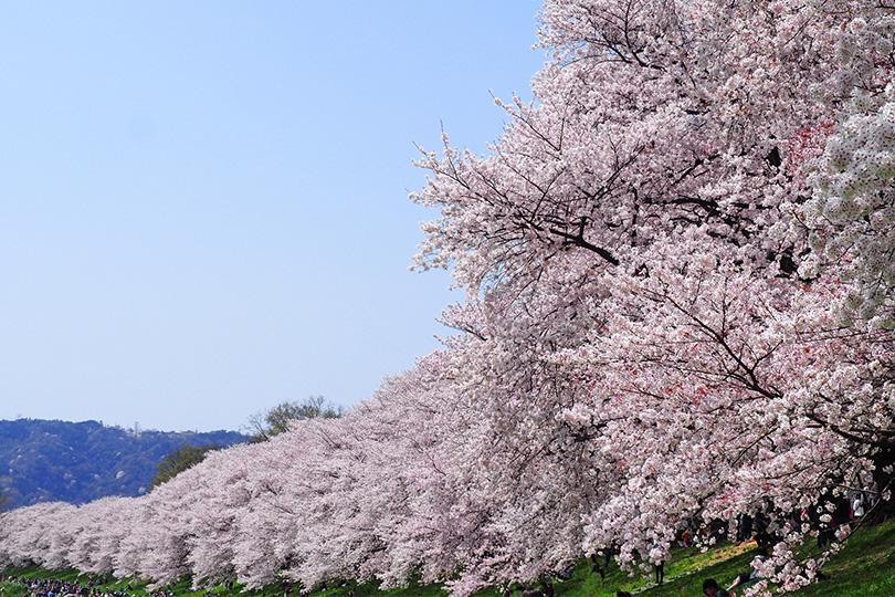 【2021年京都】オススメお花見スポット!人気ランキング